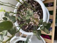 ミニバラが元気がなく、葉が全て萎れています。 新芽は出ていますが、あまり元気がないようです。 一週間ぐらい前の最近したことはアブラムシ予防のためにベニカファインをスプレーしたこと、  あとは蕾からなか...
