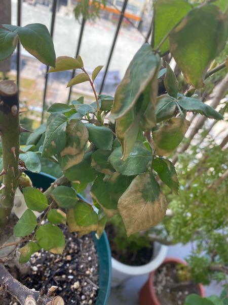 バラの元気がありません。 2月に植え替えをした薔薇、先週くらいまでは元気にたくさんの枝葉が出ていたのですが 3つ植え替えた鉢のひとつだけ、急に元気がなくなってしまいました。 画像のように葉が変色...