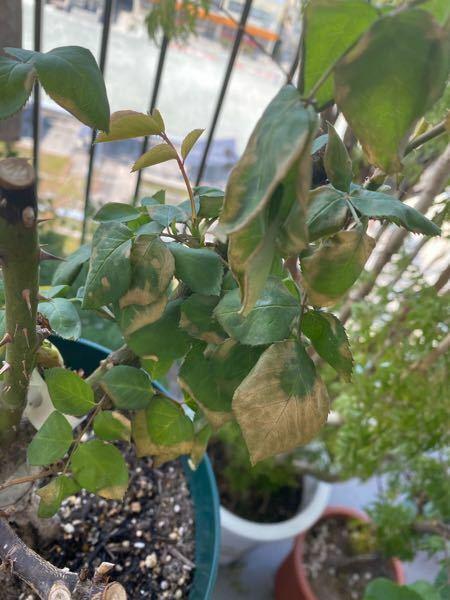 バラの元気がありません。 2月に植え替えをした薔薇、先週くらいまでは元気にたくさんの枝葉が出ていたのですが 3つ植え替えた鉢のひとつだけ、急に元気がなくなってしまいました。 画像のように葉が変色し、しおれてしまっています。 3つとも、同じ条件で植え替えたのですが… 何かお分かりになりますでしょうか。