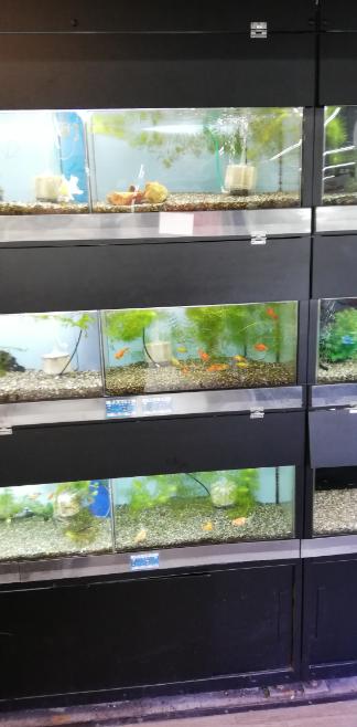 熱帯魚屋さんの水槽棚はどこで売っているのか? 添付写真のような熱帯魚屋さんは沢山ありますが、このような縦に3段も水槽を並べられて水換えホースを突っ込むスペースもあるなんていう都合のいい棚はどこで売っているのでしょうか?私も欲しいです。 また、エアーポンプは業務用の大きいものがあり、それを分岐させてすべての水槽をまかなっているのだと思うのですが、エアーポンプも熱帯魚屋さん用のものがあるのでし...