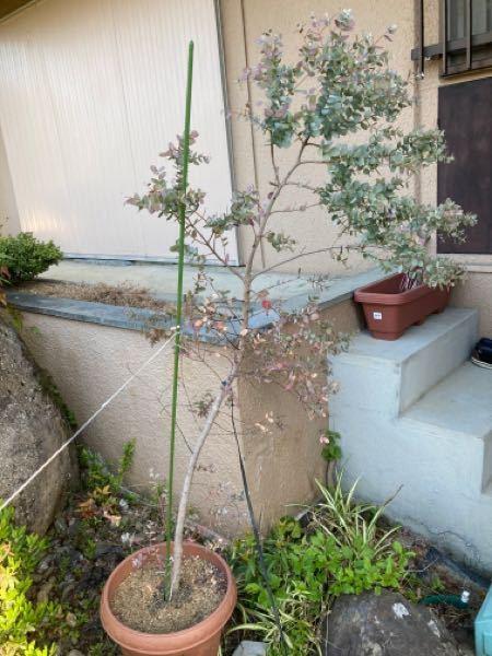 観葉植物について質問です。 ユーカリの木を育てていたのですが、枯れてきました。 これは購入してから3年目ぐらいで 鉢を2回ほど植え替えたのですが、1年位前に植え替えた時に、水はけが良い方が良いと思いほとんど赤玉土にしてしまったような記憶もあります。 これが原因なのか、何か病気なのか、写真も添付しておきますので詳しい方いましたら教えてください。 よろしくお願いします。 今のところもう一度土をを変えて植え替えるしか方法がありません。