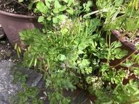 この植物の名前はなんでしょうか? 道端に咲いていた小さい紫の花の植物で、雑草だと思います。 詳しい方ぜひ教えてください! よろしくお願いします。