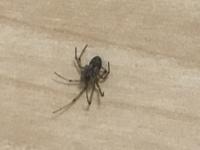 先程蜘蛛の名前を質問させて貰った者です。オオヒメグモだとは思うのですがハイイロゴケグモの可能性もあるので一応確認お願いします。
