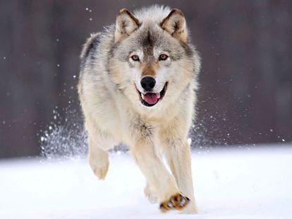 狼は童話の赤ずきんちゃんや三匹の子豚などで悪いイメージがあると思いますが、カッコよくないですか?