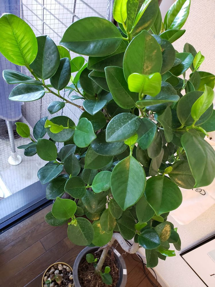 観葉植物の名前が知りたいと思っています。画像の植物の名前がわかる方いましたら教えていただけると非常に嬉しいです。