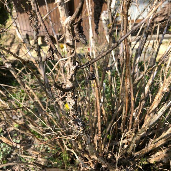 アジサイのことで教えてください。写真の通り、実家のアジサイが枯れているように見えます。去年もあまり花が咲きませんでした。 これからどんなお手入れが必要でしょうか? 今年は無理でも、来年は綺麗な花を咲かせてほしいです。