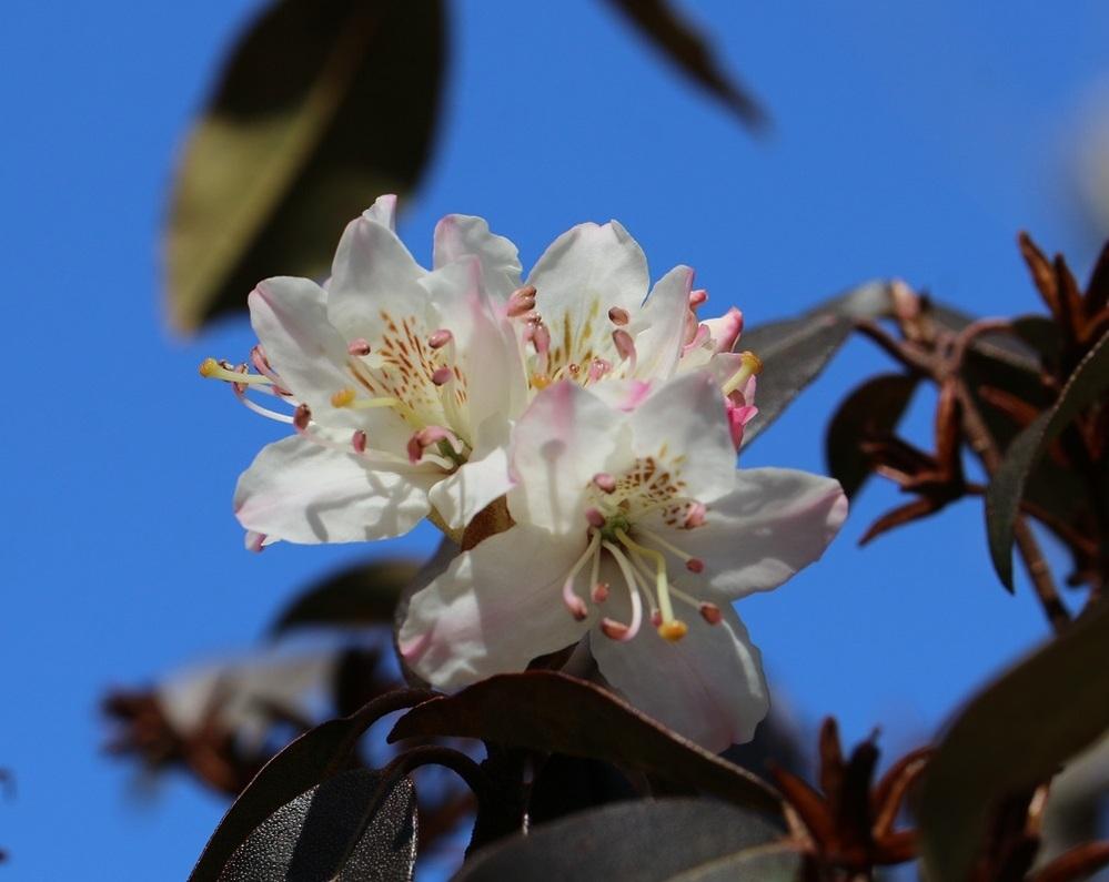 一昨日、北関東地方の自然園に行き見掛けたツツジです。 グーグルレンズの回答は「サカイツツジ」と出ますが この種は根室特有種の様で花弁の色も違います。 ツツジは種類が多いですが、ご存知の方いらしたら 名前を教えて下さい。