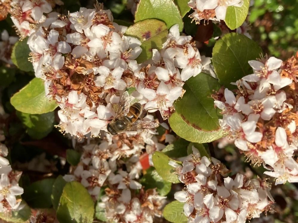 今日、花壇の花にいっぱいいたのですが、これはミツバチでしょうか?