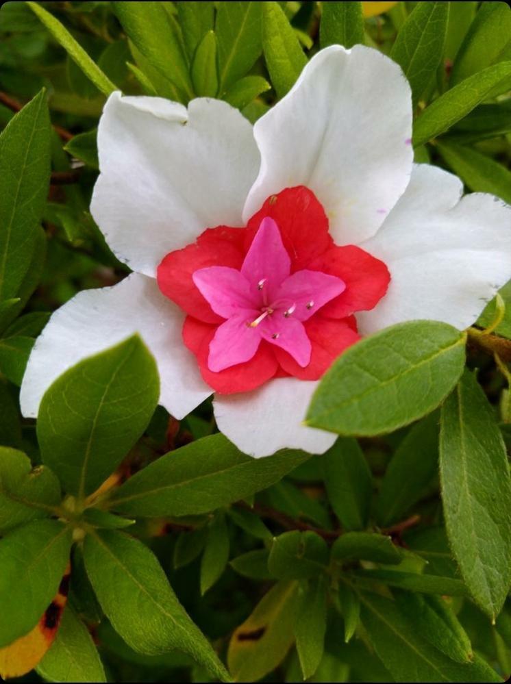 ツツジの突然変異でしょうか?? 白いツツジの中に、他の色のツツジがくっついていました。 子どものイタズラかと思い、触ってみましたがしっかりくっついていました。。 同じ木には、ピンクの花が咲いて...