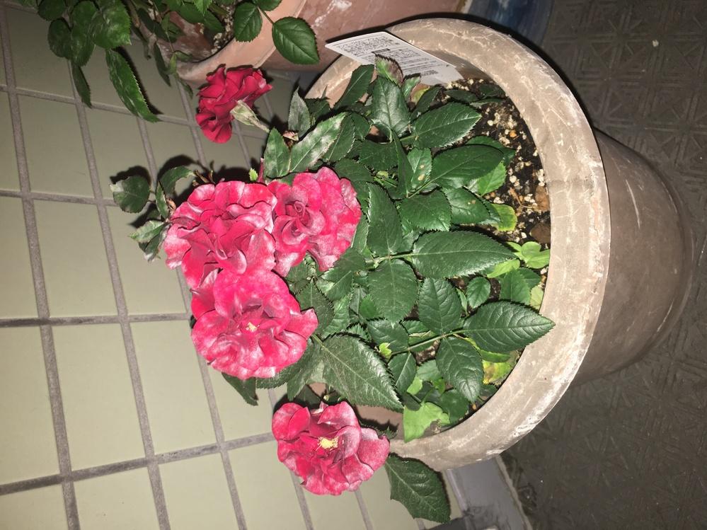 今育ててる植物がうどん粉病?なってある気がします汗 直すスプレーをしてみたのですがさらに悪化してる気がします。 何か解決策がありましたら教えていただきたいです泣