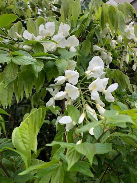 この花の名前を教えてください。 ツル植物だと思うのですが、白くきれいな花です。