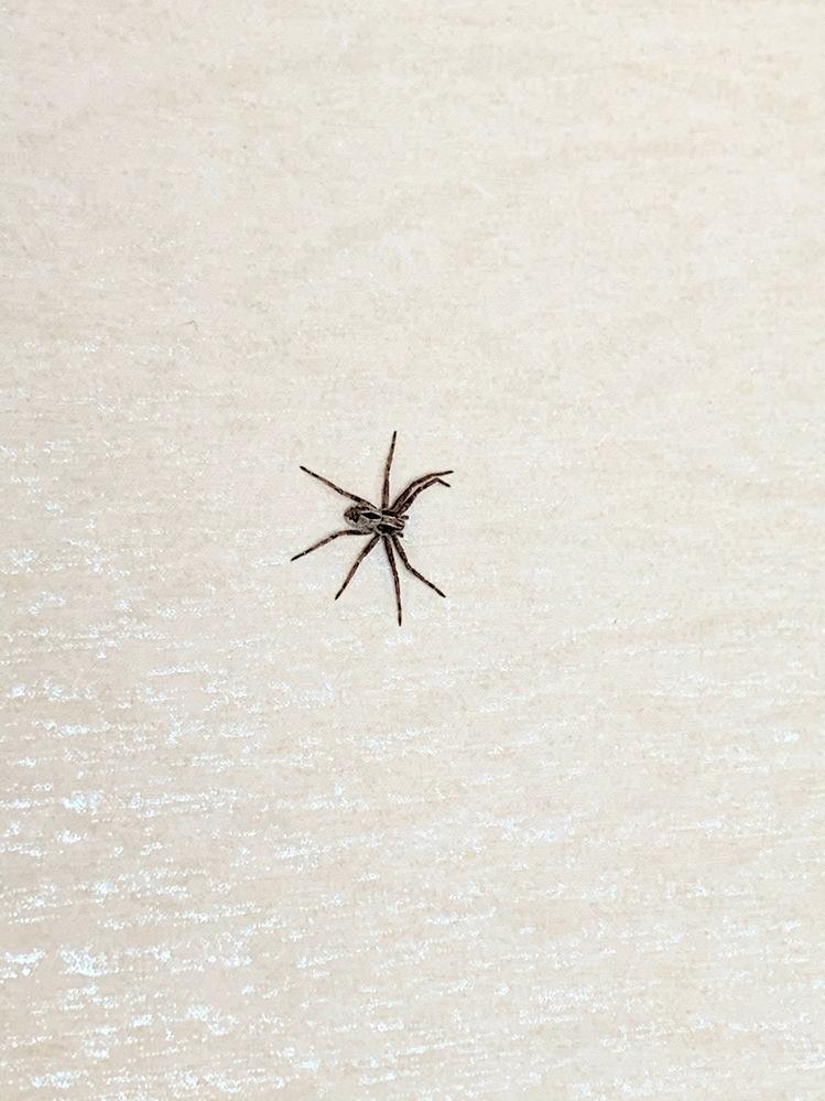 このクモの名前は何でしょうか? 1cmくらいのクモが家の壁にいたのですが、アシダカグモやハエトリグモだったら、益虫と聞いたので、そっとしておこうかなと思っています。よろしくお願い致します。