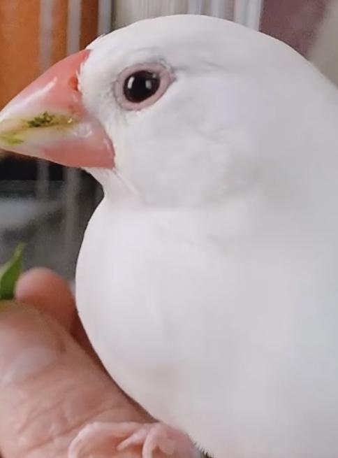 先日文鳥の貧血や、換羽の際に与えたらいいものについて質問したものです。改めて質問させていただきたくおもいます。 ①この文鳥は貧血ですか? 明日病院の予約を取っているのですが、換羽で疲れて元気がない様子なので、移動がストレスにならないかとまだ迷っています。 (片道1時間ちょっとかかります。) ②鳥の通院で、保温してタオルで包み外の景色がみえないようにする…など飼育本にのっていること以外で、ス...