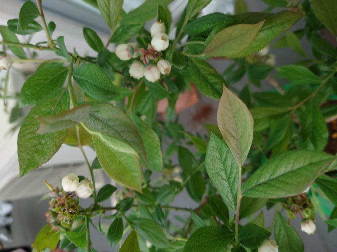 ブルーベリーの木なんですが、緑色が薄かったり赤みが目立つ葉が気になります。 原因はなんでしょうか? 2月に買ったものをブルーベリー用の土で植え替え、3月にブルーベリー用の肥料を与えました。 水は3日に一回位のペースでやっています。
