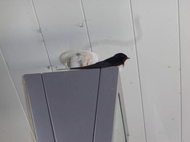 これ燕ですよね? 一瞬、こんな青かったの?ってなったんですが。