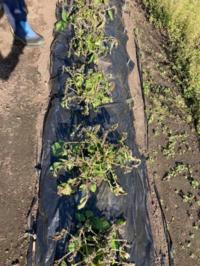 ジャガイモがこんな風になりました。 何が原因でしょうか?
