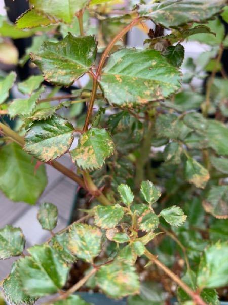 バラの病気診断をお願いします。 去年末にバラの大苗を買いました。 品種はフレグラントアプリコットです。 6号角鉢に植えられた状態で植え替えはしていません。 環境は一日中、日の当たるベランダです。 新
