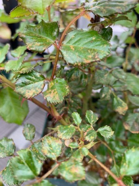 バラの病気診断をお願いします。 去年末にバラの大苗を買いました。 品種はフレグラントアプリコットです。 6号角鉢に植えられた状態で植え替えはしていません。 環境は一日中、日の当たるベランダです。 新芽や葉も順調に伸びてきて蕾もいくつかついています。 最近、葉に写真のような茶色い斑点?が出てきました。 苗の中腹くらいから出ているように見えます。 サビ病でしょうか? 病気予防にダコニール、ト...