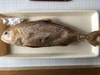 この魚はなんでしょうか??