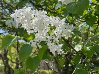 花の名前を教えてください。 百日紅くらいの大きさの房に咲いていました。画像を添えますがよろしくお願いします。