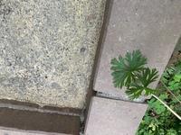 この植物の名前を教えてください。 赤い茎です。  雑草かどうかわからないので困っています。