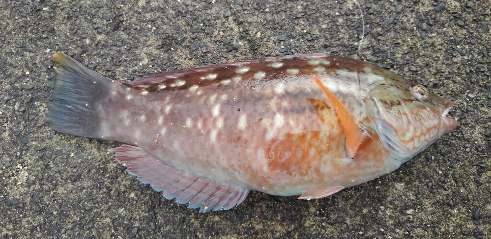 この魚は何ベラですか?