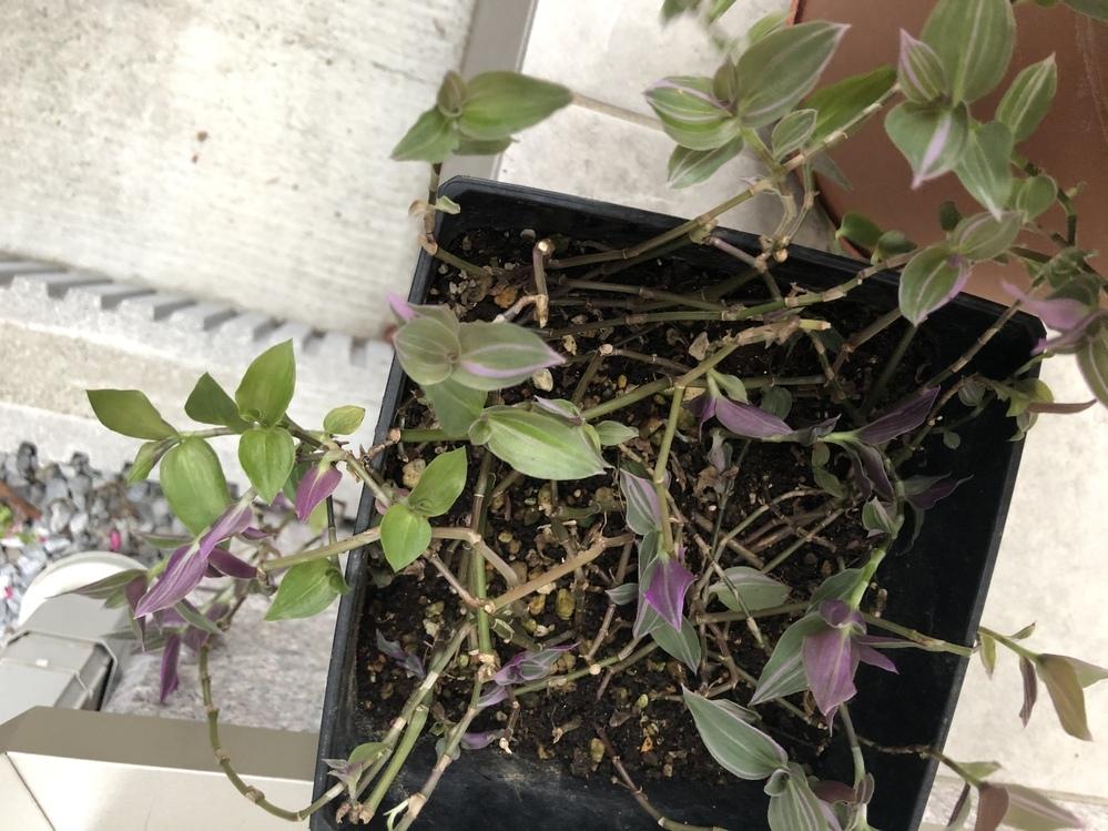 この植物の名前を知っている方がいたら教えてください。貰い物なのですが、名前が分かりません。よろしくお願いします。