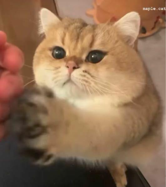 猫ちゃんに詳しい人に質問です この猫ちゃんの種類を教えていただきたいです。