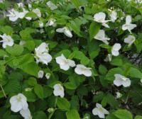 白い花が咲いている低木を見つけました。遠目には山吹の白い花かと驚いたのですが、花をよく見ると雄しべが短く山吹とは違います。 何と言う植物かご存知の方がいらっしゃいましたらお教え下さい。