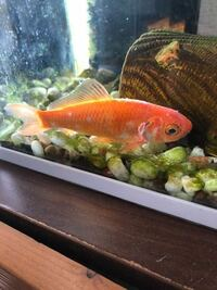 金魚のえらの部分が白くなっているのですがこれは何かの病気でしょうか?