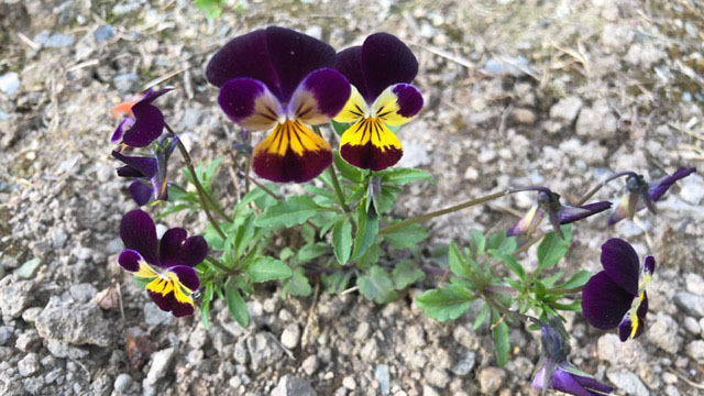 家の前にちらほら咲いてます。 綺麗なので集めて寄せ植えしてみました。 この花の名前教えて頂ければ嬉しいです。 よろしくお願いいたします。