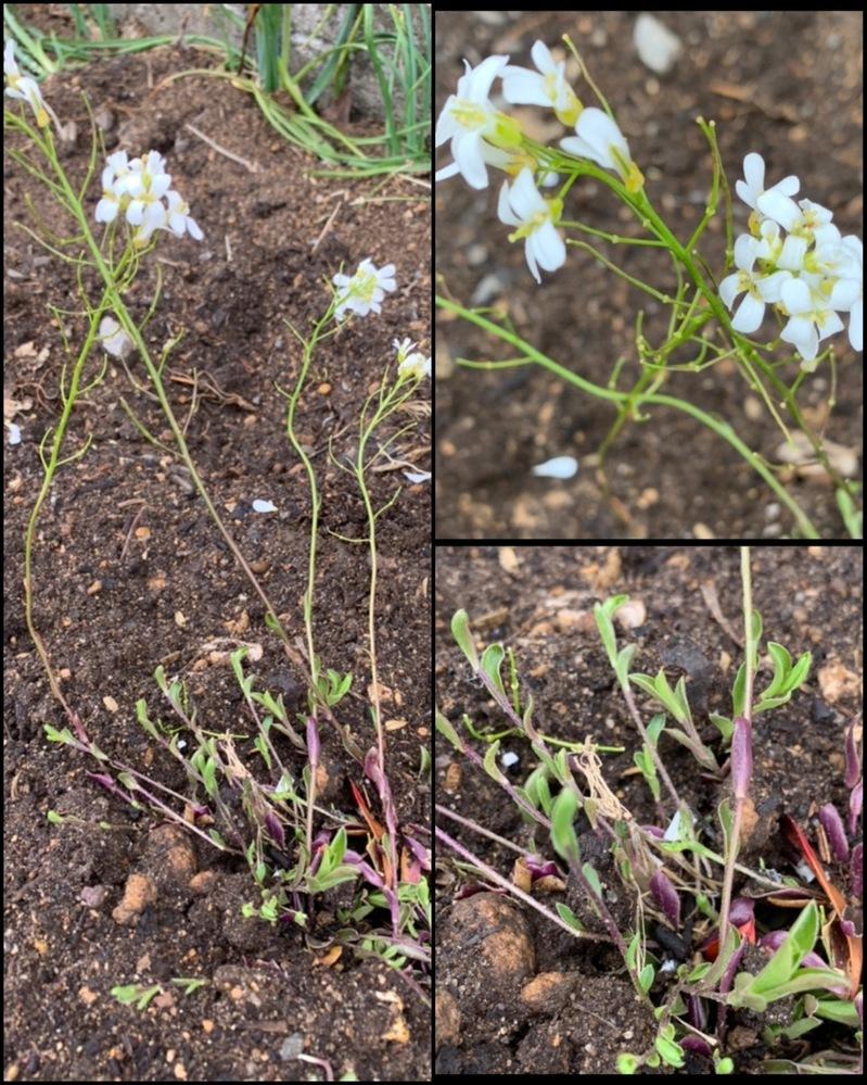 この白い花の名前を教えてください。 ナズナみたいなヒョロヒョロした感じで背丈15〜20センチ程の可愛らしいお花です。 画像が見にくくてすみませんが分かる方がいましたら教えてください。