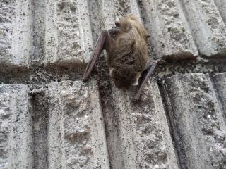 これってコウモリでしょうか 夕方ごろに家の塀にくっついてました。お昼にはいなかったと思うのですが…放っておいたら自然にいなくなるでしょうか。それともどこかに移動させた方がいいのでしょうか。 夕方とはいえ5時前なのでまだ充分明るい時間なのですが、こんな時間に一匹で移動することもあるんでしょうか。