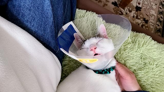 去勢手術を終えて日帰りで帰宅したオス猫 朝預け、夕方4時に迎えに行きました。 迎えに行った時は看護士さんお手上げの警戒モードで私の慣れた匂いで落ち着いて連れ帰りました。 エリザベスカラー付で帰宅し帰ってからしばらく走り回って、私に甘えてをしてました。 実家で飼ってる猫なのですが 私が帰る時もケージの中で爆睡。 今母から元気がないと連絡がありました。 帰ってからもうつらうつらとして...