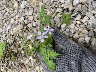 この植物はムラサキケマンでしょうか? 庭に生えてくるのですが、毒がありそうで心配です。 植物に詳しい方、教えてください。