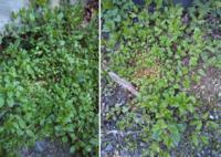 これはハコベでしょうか?最も大きい葉の縦長さが5cm位あります。 茎は容易く折れて弱く、ハコベに思うのですが、他の場所の(普通に見かけるサイズの)ハコベは、花や実が付いている季節ですが、この大きな物には花や実はまだ見当たりません。