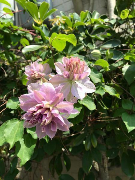 添付画像の植物の名前を教えてください。本日撮影大阪です、