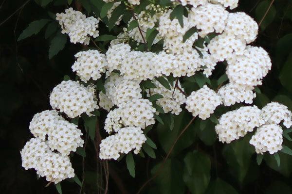 昨日、北九州市の郊外で見た野の花です。コデマリでしょうか?