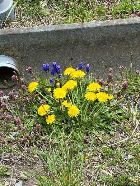 散歩してた時に見たのですが このお花?はなんでしょうか? たんぽぽではない紫の方のお花です! ※悪口ネガティブコメントはお控えください、、