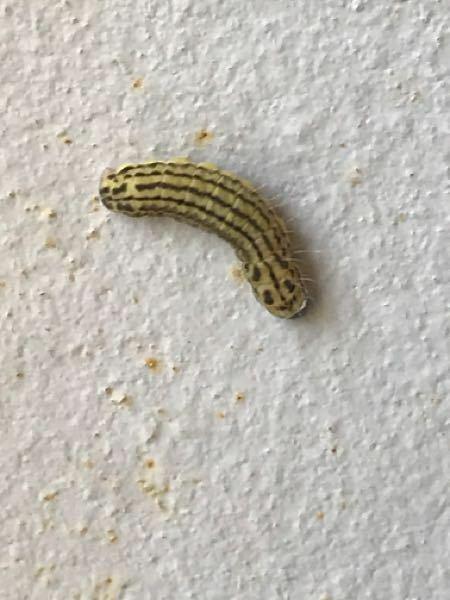 こんにちは。ここ最近庭で2、3匹写真の毛虫のような芋虫のような虫をかけるのですが、これは何ですか?毒などあるのでしょうか?小さい子がいて心配です。どうぞお教えください!至急よろしくお願いしますm(_ _)m