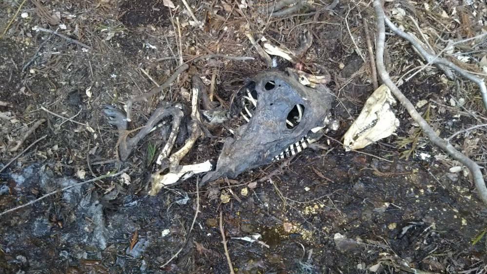 ※動物の死体の画像注意 今朝裏庭で見つけた動物の死骸です。 こちら何の動物の骨でしょう? 大きさは愛玩用のウサギより大きいです。 分かる方よろしくお願いいたします。