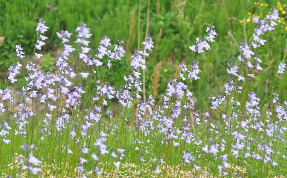 野花の名前を教えて頂けませんか? 今日の山陰地方の土手で・・・高さは3~40センチくらいで数メートルに渡って咲いていました。 ピントが合わず(^^)