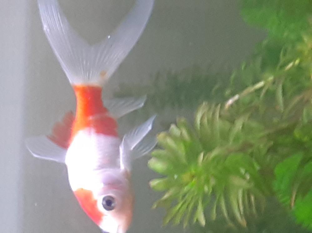 金魚について質問です 今日コメットを買ってきたのですが白点病かもしれません。 画像のせておくので判別お願いします また白点病だった場合は治療方を教えてください