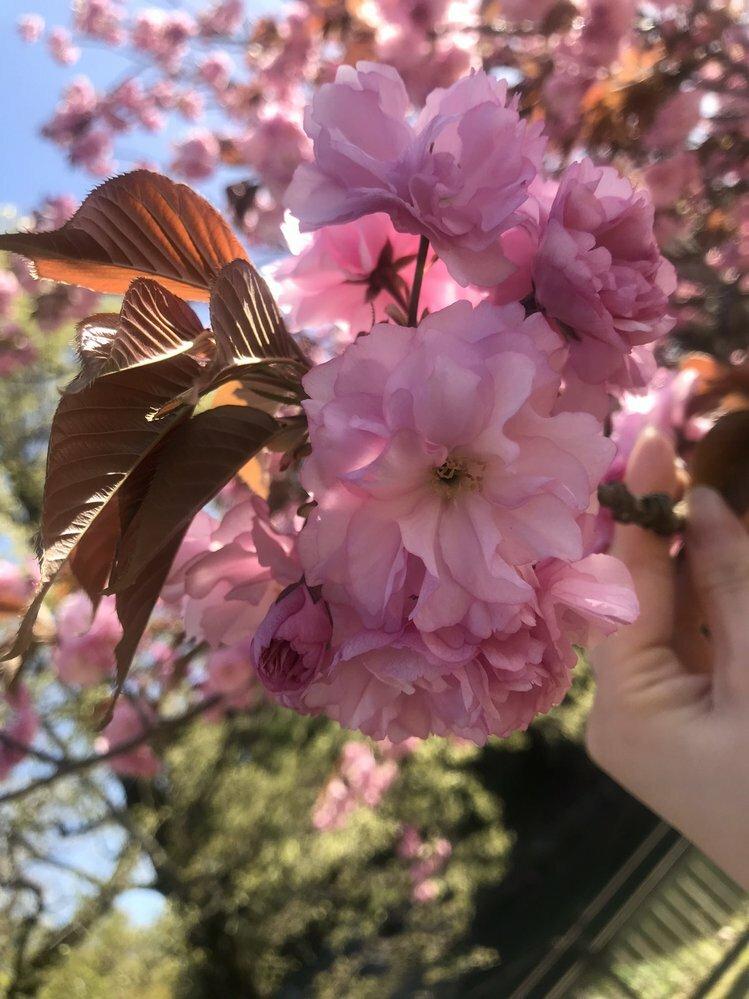 この桜の品種は何でしょうか? ピンクの濃い、八重咲きなので関山かとも思うのですが、確信がもてません。 わかる方、よろしくお願いします。