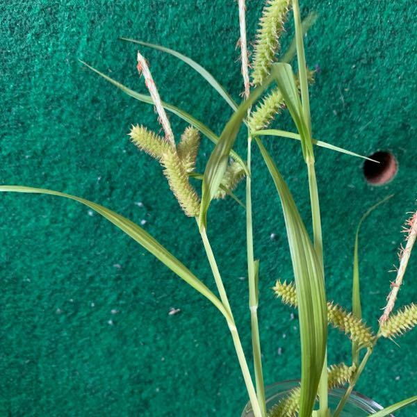 庭に勝手に生えてる草。カヤツリグサの仲間みたいです。和名知りたいです。