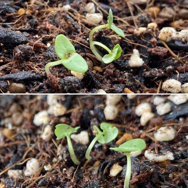 バジルの芽が4月3日頃出たのですが、これは徒長しちゃってますか?? 室内で育ててるのですが、外で小さい鉢で育ててるやつよりひょろひょろなきがしてて、このまま枯れてしまったりするのでしょうか? 写真は2つとも同じ芽です。 角度が違うだけです。 日光不足かと思い、場所を先程移動しましたが、、、 このまま日光を当てれば復活とかありますかね? 双葉が出てから本葉が出るまであとどれ位なんでしょうか。。 少し植えるのが早かったですね。。。