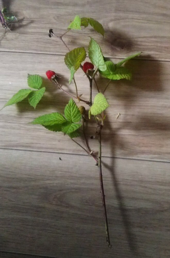 野イチゴは水(花瓶)に刺しておいて育ちますか?土でしか育ちませんか?