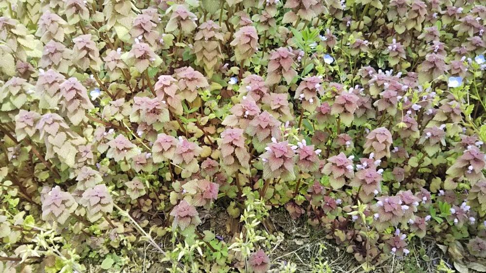 これは何という植物でしょうか。 庭に繁えていました。
