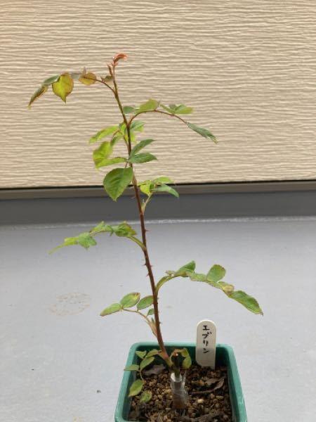 バラの接木新苗を購入しましたが1本伸びてきているだけで、横枝などはこれから出ますか? 先をカットするとかは必要でしょうか。 すみませんが教えてください。 宜しくお願い致します。