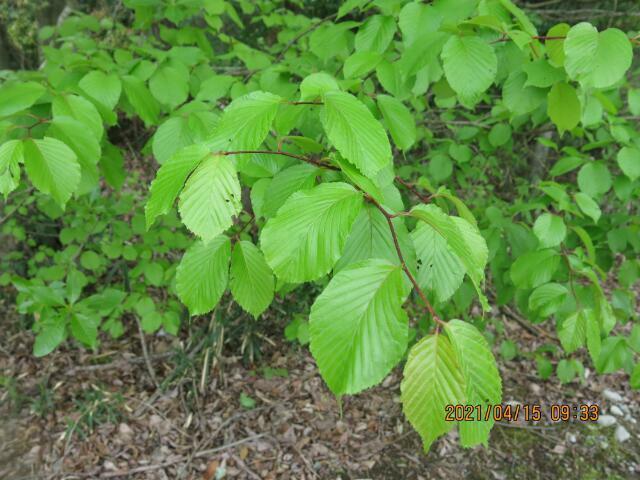 木の名前を教えてください、 岐阜県米田白山で、撮影20210415